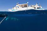 Split level of dwarf minke whale and Undersea Explorer.Balaenoptera acutorostrata