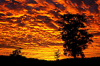 Totara trees under the red skies of the sunset on the West Coast - Westland National Park, West Coast, New Zealand