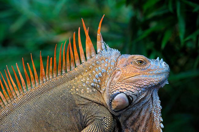 COSTA RICA, MALE GREEN IGUANA (Iguana iguana) IN BREEDING COLOR, CLOSE-UP
