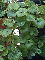 Gundelrebe<br /> <br /> Europe, Germany, Ruhr Area, Wetter<br /> <br /> Europa, Deutschland, Ruhrgebiet, Wetter<br /> <br /> [MODEL RELEASE: NO, Copyright: Vera Schimetzek, Bornstrasse 5, 58300 Wetter, Germany, phone: 0049.2335.970650, mobil: 0049.151.21220918, www.schimetzek-foto.de, schimetzek@web.de,<br /> Die Verwendung des Fotos ist honorarpflichtig. Keine Verwendung ohne Genehmigung.  Es gelten die AGB.<br /> For use the general terms and conditions are mandatory. No use without permission. The use of the image is subject to a fee.]