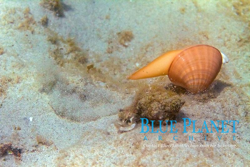 cockle, callista chione, truing to escape from murex, Aegean sea, Mediterranean