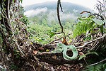 Adult Wagler's Pit Viper (Tropidolaemus wagleri) basking in mist-shrouded forest under storey. Danum Valley, Sabah, Borneo.