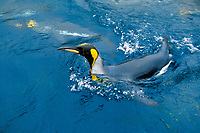 king penguin swimming, Aptenodytes patagonicus, MacQuerie Island, Australia