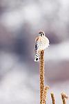 American Kestrel (Falco sparverius) male, Tule Lake National Wildlife Refuge, California