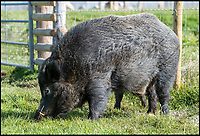BNPS.co.uk (01202 558833)<br /> Pic: PhilYeomans/BNPS<br /> <br /> Huge male wild Boar.<br /> <br /> Back to the future - A farmer is returning his land back to the Stone Age and reintroducing species of wild animals once extinct in the UK - after becoming disenchanted with 'unsustainable' modern farming techniques.<br /> <br /> Derek Gow is using a herd of Nazi-engineered cows to spearhead his radical rewilding scheme that will create the farming version of Jurassic Park.<br /> <br /> The Heck cows that died out in the Iron Age were re-established in Nazi Germany in the 1930s as part of a genetics programme to create a breed of super cattle.<br /> <br /> Joining them on Mr Gow's 115 acre ring-fenced plot of upland in Devon will be rabbit-eating wildcats, wild boar and beavers.