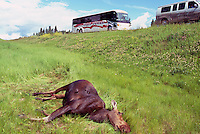 Road Kill / Roadkill - Body of Dead Moose Cow (Alces americana) killed in Highway Accident and lying in Ditch, BC, British Columbia, Canada