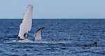 Ecotourists snorkel with humpback whales, Vava'u, Tonga