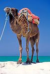Tunisia, Djerba: dromedary at beach, waiting for tourists