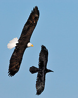 Bald Eagle at the Llano, TX nest chases away a raven that flew too close to their territory.