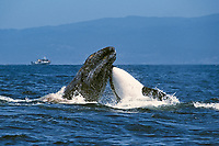 killer whale, Orcinus orca, and gray whale, Eschrichtius robustus, gray whale calf being rammed by hunting & attacking killer whale, Monterey Bay National Marine Sanctuary, California, USA, Pacific Ocean, 1 of 4