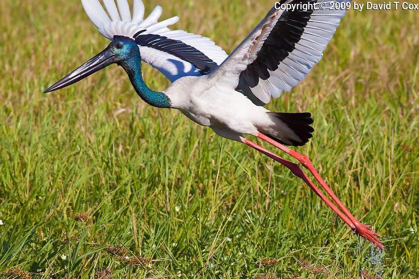 Black-Necked Stork aka Jabiru, Yellow Water, Kakadu NP, NT, Australia