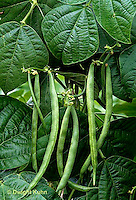 HS30-055x  Bean - pole bean - Kentucky Blue variety