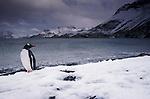 Gentoo penguin, South Georgia Island