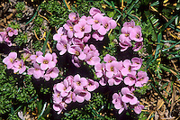 Steinschmückel, Pyrenäen-Steinschmückel, Petrocallis pyrenaica, Pyrenean whitlow grass