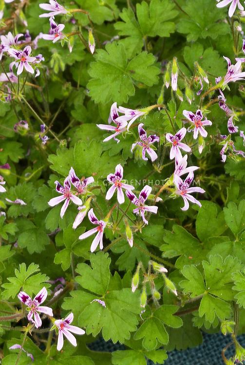 Pelargonium iocastum, species annual geranium in bloom with foliage, low-growing plant from South Africa, climbing vine habit