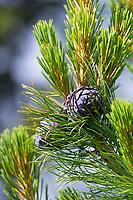 Zirbel-Kiefer, Zirbelkiefer, Zirbel, Zirbe, Arve, Zapfen, Zirbenzapfen, Pinus cembra, Arolla Pine, Swiss pine, Swiss Stone Pine, Austrian stone pine, Stone pine, cone, cones, Le pin cembro, le pin des Alpes, l'arol, l'arole, l'arolle, l'arve, l'auvier, le pin arolle, le tinier