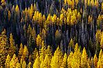 USA, Washington, Cascade Range, abstract, larch (Larix occidentalis)