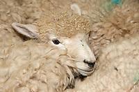 Merino Sheep Awaiting Shearing, National Museum of Sheep and Shearing, Masterton, New Zealand, north island, Wairarapa region.  Previously known as the Shear Discovery Centre.