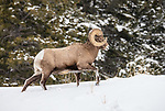 Yellowstone National Park, Wyoming: Bighorn Ram (Ovis canadensis) in winter