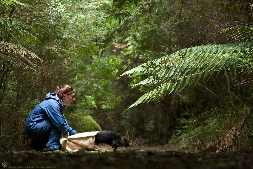 Field officer of the Save the Tassie Devil project releases a Tasmanian devil in a quiet fern forest.  <br /> <br /> Learn more: http://www.tassiedevil.com.au