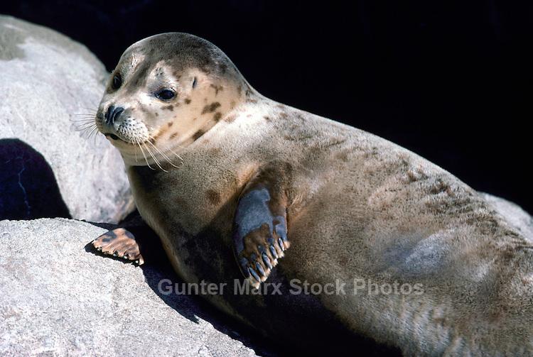 Harbour Seal (Phoca vitulina richardsi) basking on Rock in Sun, along Pacific West Coast, BC, British Columbia, Canada