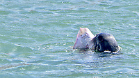 BNPS.co.uk (01202 558833)<br /> Pic: Jonathan Parr/BNPS<br /> <br /> Pictured: He died with a smile on his face - This is the moment a hapless skate fish looks resigned to its fate after being caught by a hungry seal.<br /> <br /> The flatfish is a bottom feeder and was unlucky to have been picked off by the grey seal which would have dived to the seabed to scoop it up.<br /> <br /> The aquatic mammal then brought its prey to the surface in Brixham Harbour in Devon.