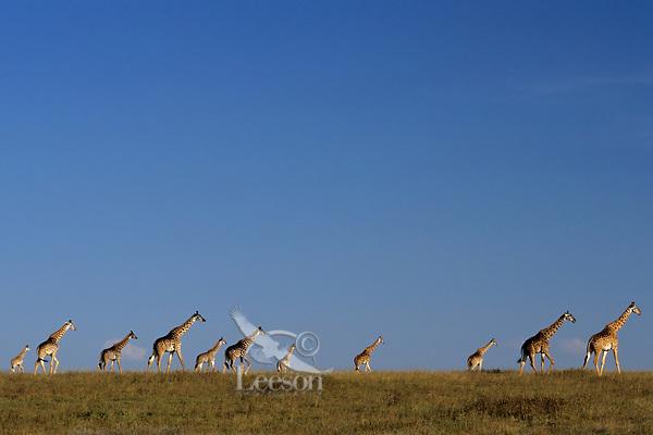 Masai giraffe (Giraffa camelopardalis). Serengeti National Park, Tanzania.