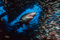 sand tiger shark, Carcharias taurus, with school of fish, inside a shipwreck, North Carolina, USA, Atlantic Ocean