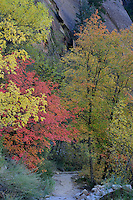 Bigtooth maples along Observation Point Trail<br /> Zion Canyon<br /> Zion National Park<br /> Colorado Plateau,  Utah