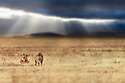A pair of male lions (Panthera leo) with dramtic storm clouds, thundery sky and light rays in the background. Ngorongoro Crater, Ngorongoro Conservation Area (NCA), Tanzania. (composite image)