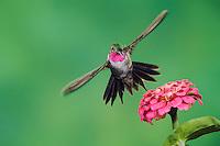 Broad-tailed Hummingbird, Selasphorus platycercus, male feeding on Dwarf Rose(Zinnia ssp.), Paradise, Chiricahua Mountains, Arizona, USA