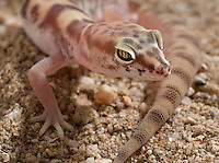 Banded Gecko.Coleonyx variegatus.Nocturnal gecko from the desert. Small, fragile, beautiful. Good pets too, like a miniature leopard gecko. They have a close relative called the Barefoot Gecko that is insanely rare and hard to find. Still looking.