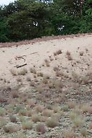 Silbergras, Silber-Gras, größerer Bestand auf einer Binnendüne, Sandgebiet, Trockenrasen, Corynephorus canescens, Grey Hair Grass