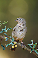 Canyon Towhee, Pipilo fuscus, adult on Agarita (Berberis trifoliolata), Uvalde County, Hill Country, Texas, USA