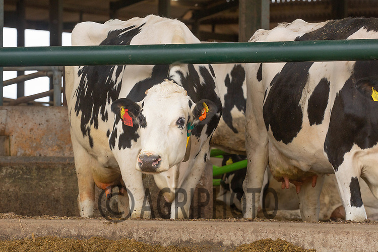 5-10-2021 Housed dairy cows eating silage<br /> ©Tim Scrivener Photographer 07850 303986<br />      ....Covering Agriculture In The UK....
