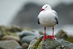 Red-billed Gull (Larus scopulinus) during rain storm, Kaikoura, South Island, New Zealand