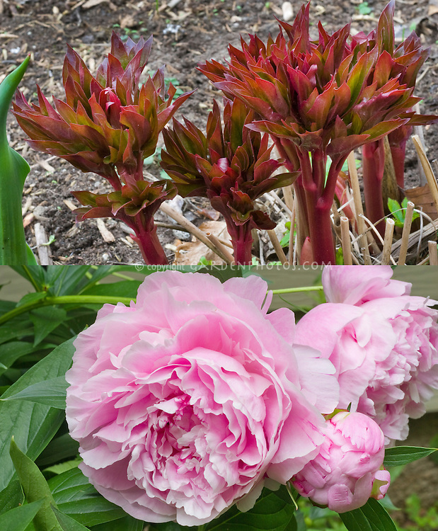 Paeonia lactiflora Sarah Bernhardt in two stages, spring emerging new growth and late spring pink flowers, composite picture