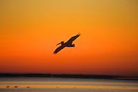 American White Pelican or Rough-billed Pelican (Pelecanus erythrorhynchos) flying against sunrise.