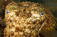 Papuan cuttlefish, Sepia papuensis, Tulumben, Bali, Indonesia,