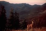 Olympic National Park, Deer, Grand Lakes Basin. Olympic Peninsula, Washington State, Pacific Northwest, USA,