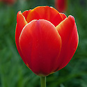 Tulip 'World's Favourite', late April. A Darwin Hybrid Group tulip, orange-red with yellow fringes.
