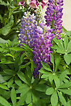LUPINUS POLYPHYLLUS 'CAMELOT BLUE', LUPINE