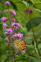 Monarch butterfly on Rough Blazing Star (Liatris aspera). Liatris species are unusual because they flower from the top of the inflorescence down, versus bottom up. Wildflower of the tallgrass prairie native to Eastern North America.