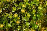 Durchscheinendes Georgsmoos, Georgs-Moos, Durchscheinendes Vierzahnmoos, Tetraphis pellucida, Georgia pellucida, pellucid four-tooth moss