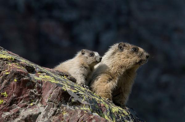 Hoary Marmot (Marmota caligata) adult with young, Glacier National Park, Montana.  Summer.