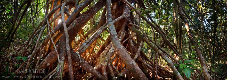 Aerial tree roots, lowland rain forest. Masoala Peninsula National Park, north east Madagascar. Stitched Panorama.