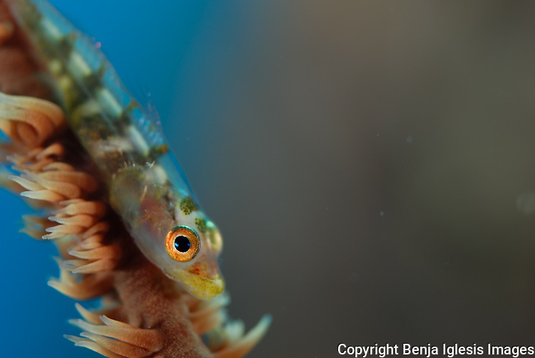 goby over wire coral, this fish is really dificult to spot its only 1/2 inch This is a few of my favorite images,I love what I do and I don't see myself doing nothing else for the rest of my life,enjoy.<br /> <br /> Estas son algunas de mis imagenes favoritas amo lo que hago y espero hacerlo por el resto de mi vida.