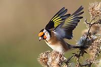 Stieglitz, Distelfink, frisst an Samenständen von Distel, Disteln, Distelsamen, Carduelis carduelis, European goldfinch, goldfinch, Le Chardonneret élégant