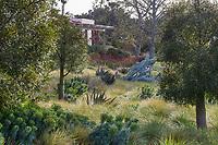 Brachychiton rupestris (Bottle Tree) trees in garden landscape with Euphorbia characias (Mediterranean Spurge), Aloe ferox (Bitter Aloe), Festuca mairei (Atlas Fescue), Sporobolus airoides (Alkali Sacaton), Huntington Botanic Garden