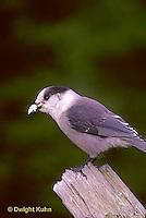 1J01-005z  Gray Jay - Perisoreus canadensis